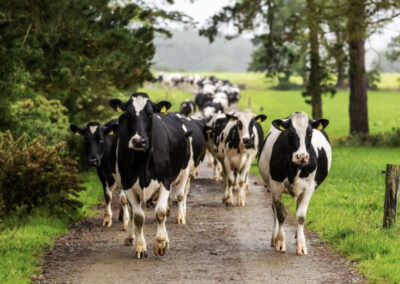 Dairy Stock for Sale